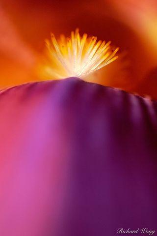 bearded iris, bloom, blooming, detail, details, flower, flowers, iris, irises, macro, purple flower, tongue