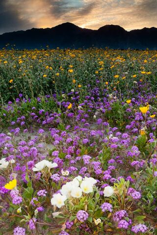 Spring Wildflowers at Sunset, Anza Borrego Desert State Park, California, photo