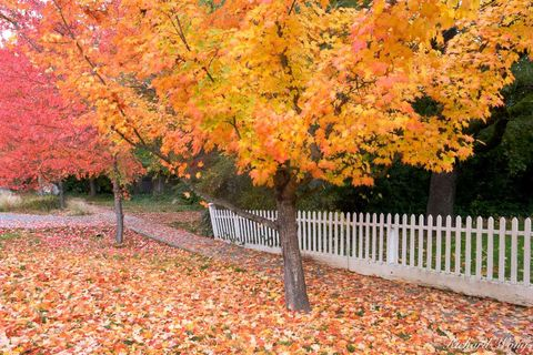 California, Gold Rush Country, Nevada City, Sierra Nevada Foothills, autumn leaves, color, colorful, fall colors, fall foliage, fences, maples trees, october, photosynthesis, season, seasons, street,