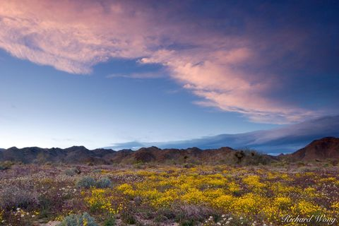 Joshua Tree National Park, alpenglow, bloom, blooming, blooms, clouds, colorado desert, deserts, flower, flowers, golden poppy, nature, poppies, riverside county, scenery, scenic, scenics, southern ca