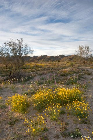 Joshua Tree National Park, alpenglow, bloom, blooming, blooms, clouds, colorado desert, deserts, flower, flowers, golden poppy, lupine, lupines, nature, poppies, riverside county, scenery, scenic, sce