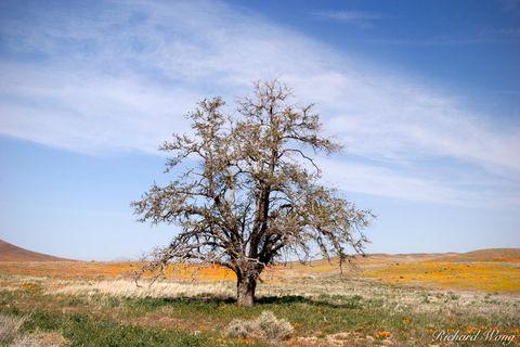 Tree in the Antelope Valley Poppy Reserve, California, photo