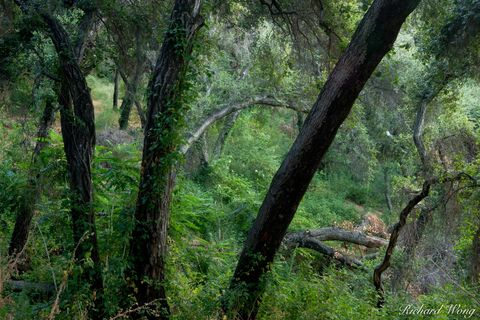 Big Dalton Canyon Wilderness Park, Glendora, Los Angeles County, San Gabriel Mountains, forest, forests, green, lush, mysterious, nature, oak trees, oaks, southern california, tree, united states of a