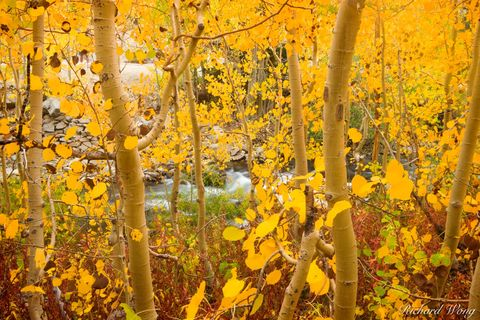 Yellow Aspen Fall Foliage Along Bishop Creek, Inyo National Forest, California, photo