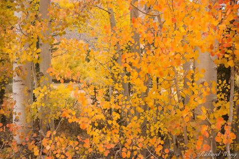 California, alpine, aspen, aspens, autumn, bishop creek canyon, color, colorful, eastern sierra, ecology, ecosystem, fall colors, foliage, forests, golden, inyo national forest, john muir wilderness,