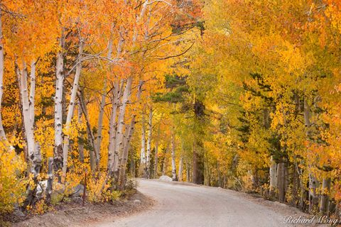 Dirt Road Winding Through Aspen Forest near North Lake, Eastern Sierra, California, photo