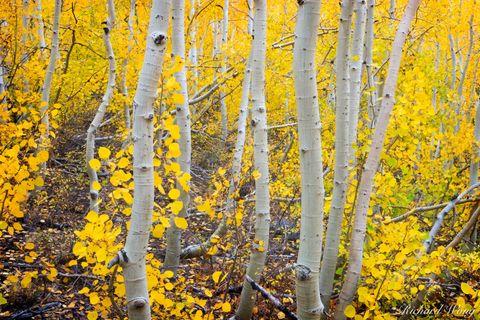 Aspen Trees Fall Foliage, South Fork Bishop Creek, Eastern Sierra, California, photo