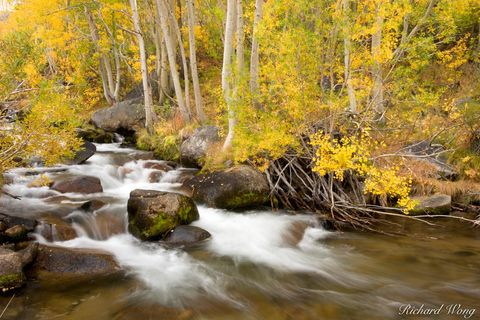 South Fork Bishop Creek and Aspen Trees in Fall, Inyo National Forest, California, photo