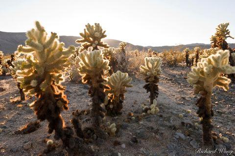 Cylindropuntia fulgida, Joshua Tree National Park, Mojave Desert, amazing, arid, backcountry, backlighting, backlit, barren, cacti, cholla cactus garden, colorado desert, desert, distance, distant, dr
