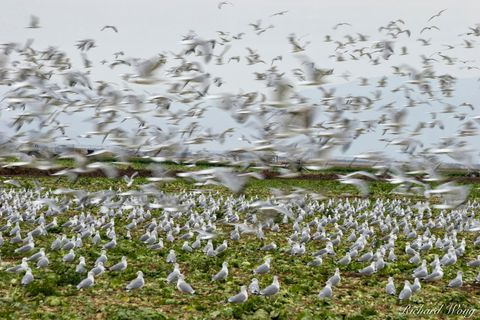Western Gulls in Agricultural Field, Imperial Valley, California, photo
