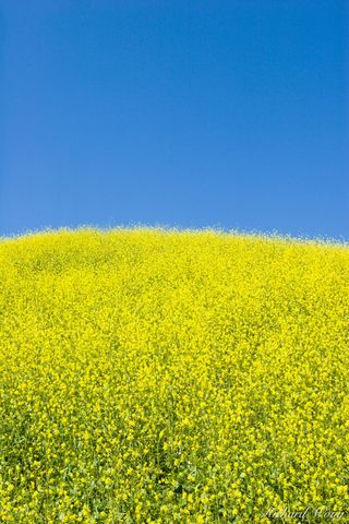 bloom, blooms, blue sky, chino hills state park, flower, landscape, mustard flowers, nature, san bernardino county, scenic, southern california, sp, spring, spring time, spring times, spring wildflowe