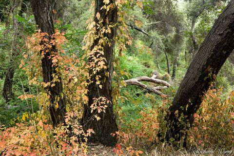 Big Dalton Canyon Wilderness Park, Glendora, Los Angeles County, San Gabriel Mountains, fall foliage, forest, forests, nature, oak trees, oaks, orange, poison oak, red leaves, southern california, tre