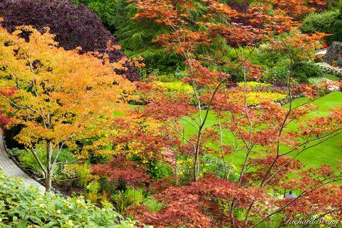 Japanese Maple Trees Fall Color - Sunken Garden, Butchart Gardens, Vancouver Island, B.C., photo