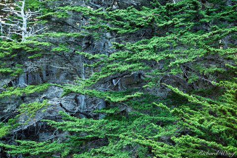 Allan Memorial Grove - Monterey Cypress Trees, Point Lobos, California, photo