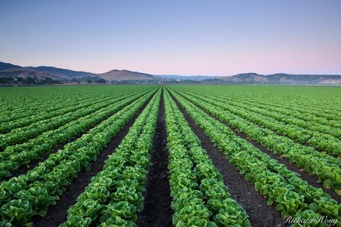 Agriculture Field of Lettuce Crops, Salinas, California, photo