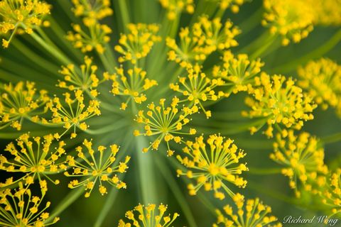 California, agricultural, agricultural field, agriculture, bloom, blooming, blooms, coachella valley, dill, farm, farms, fields, flowering, herb, herbs, horticulture, plant, plants, san bernardino cou