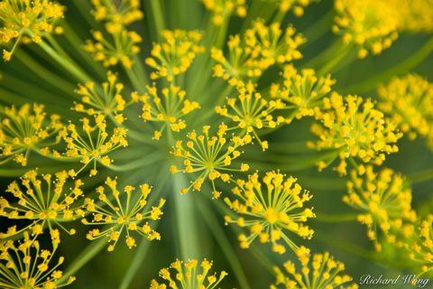 Bloom Dill, Coachella Valley, California, photo