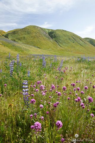 Wildflowers, Wind Wolves Preserve, California, photo