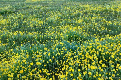 California, Goldfields, california valley, carrizo plain national monument, flora, landscapes, nature, rural, san luis obispo county, scenery, seasons, spring, u.s national parks, usa, valleys, vegeta