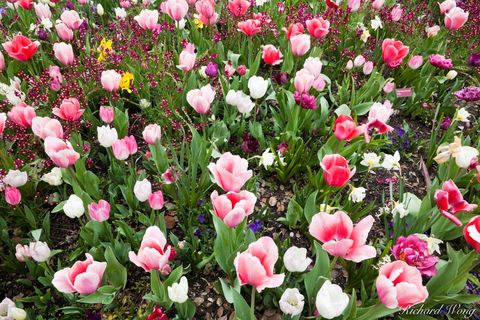 California, Descanso Garden, La Canada Flintridge, Los Angeles County, bloom, blooms, flora, flower, flowers, large cluster of flowers, southern california gardens, spring, tulip, tulips, white tulips