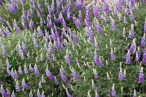 bloom, blooming, blooms, bush lupine, figueroa mountain recreation area, flora, los padres national forest, lupines, nature, purple flowers, santa barbara county, santa ynez mountains, seasonal, seaso