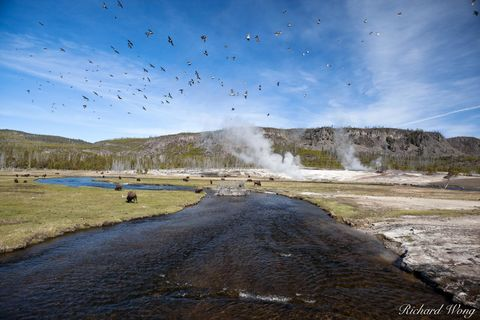 action, active, american buffalo, animals, babies, baby, birds, biscuit gasin, bison, boiling, bubbling, ecology, ecosystem, erupt, erupting, eruption, ethereal, firehole river, fumes, fuming, geologi