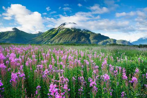 Fireweed Wildflowers Along Seward Highway, Chugach National Forest, Alaska, photo