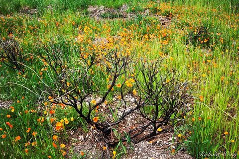 Golden Poppies Growing in Burn Area on Figueroa Mountain, Los Padres National Forest, California, photo