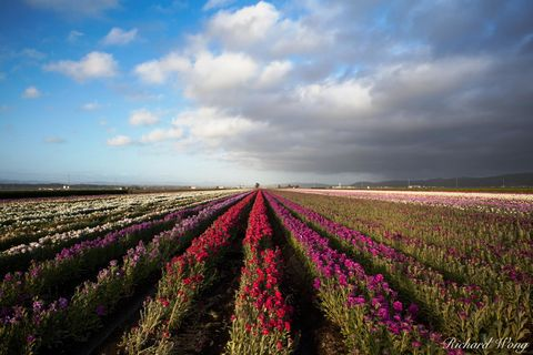 California Central Coast, bloom, blooming, blooms, color, colors, flora, flower fields, landscape, lompoc, north america, outdoors, outside, row, rows, rural, santa barbara county, scenery, scenic, se