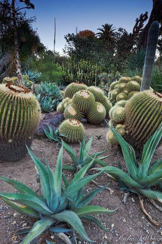 agave, barrel cactus, cacti, desert garden, flora, huntington botanical gardens, los angeles county, nature, outdoor, outdoors, outside, plants, san marino, southern california, united states of ameri