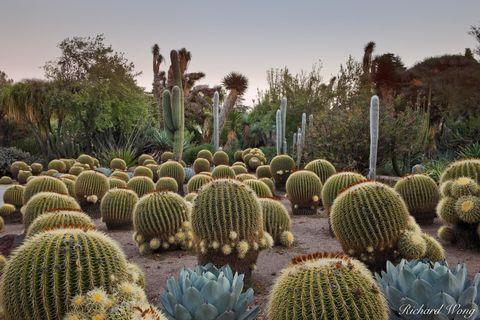 Barrel cactus, Los Angeles County, San Gabriel Valley, agave, cacti, desert garden, drought tolerant plants, dusk, evening, exterior, flora, foliage, garden, green, huntington botanical gardens, joshu