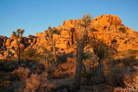 Joshua Trees at Sunset on Barker Dam Trail, Joshua Tree National Park, California, photo