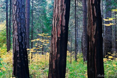 Tree Trunks and Fall Color on Southside Drive, Yosemite National Park, California, photo