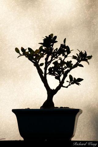 Los Angeles County, San Gabriel Valley, asian, backlighting, backlit, bonsai trees, elegance, flora, japanese garden, light, nature, patterns, san marino, shadows, shapes, silhouette, simplicity, sout