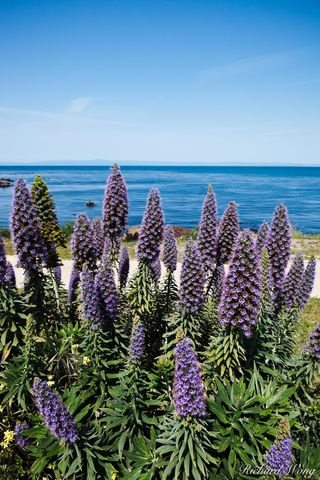 Pride of Madeira Flowers, Pacific Grove, California, photo