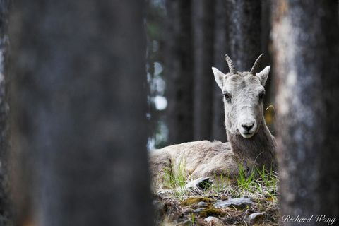 1, a.b, ab, alberta, animals, banff national park, bighorn sheep, canada, canadian rockies, color image, colour image, day, daylight, daytime, female, forest, forested, hidden, horizontal format, lake