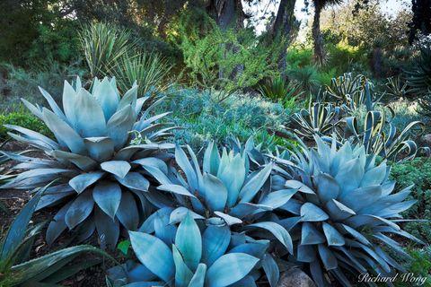 California, Los Angeles County, San Gabriel Valley, agave, desert garden, exterior, flora, garden, huntington botanical gardens, landscaping, nature, outdoor, outdoors, outside, plants, san marino, so