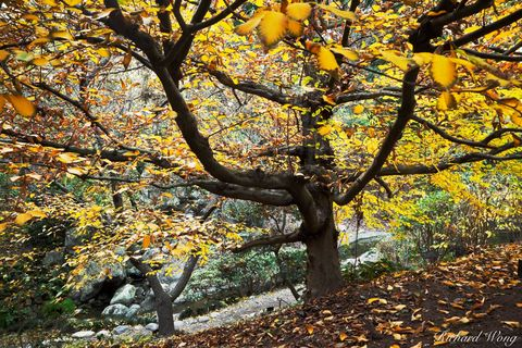 Los Angeles County, San Gabriel Valley, autumn leaves, colors, european hornbeam trees, fall color, flora, foliage, japanese garden, outdoor, outside, san marino, seasonal, seasons, southern californi