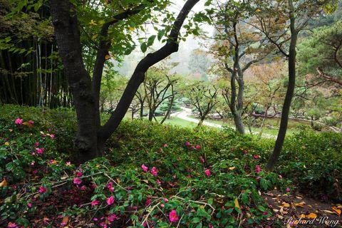 Los Angeles County, San Gabriel Valley, fog, foggy, japanese garden, morning, outdoor, outside, pink flowers, san marino, seasonal, seasons, southern california, the huntington library and botanical g