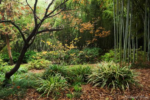 Los Angeles County, San Gabriel Valley, autumn leaves, bamboo, fall color, foliage, forest, forested, green, japanese garden, outdoor, outside, san marino, seasonal, seasons, southern california, the