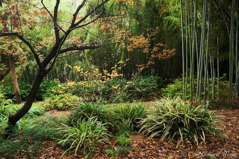 Fall Foliage in Bamboo Forest / Japanese Garden at The Huntington, San Marino, California, photo