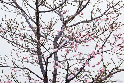 Los Angeles County, San Gabriel Valley, bloom, blooming, blooms, cherry blossoms, chinese garden, exterior, flora, garden, huntington botanical gardens, landscaping, nature, outdoor, outdoors, outside