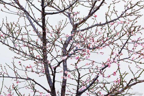 Cherry Blossoms in Chinese Garden at The Huntington, San Marino, California, photo