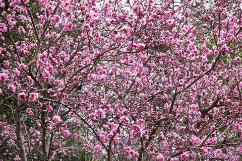Cherry Blossoms in Japanese Garden at The Huntington, San Marino, California, photo