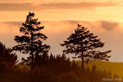 Trees and Foggy Sunset, Point Reyes National Seashore, California, photo
