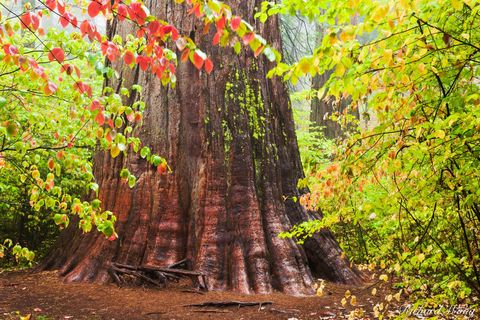calaveras big trees state park, giant sequoia trees, fall foliage, dogwood, california, photo