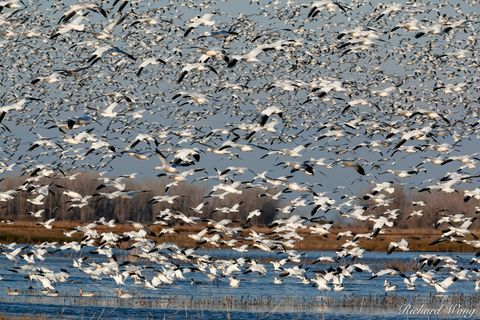Geese in Flight, Merced National Wildlife Refuge, California, photo