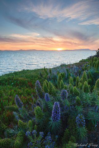 alameda, flowers, harbor bay, landscape, nature, northern california, outdoors, outside, plants, purple bush lupine, san francisco east bay, san francisco skyline, scenic, shoreline, sunset, united st