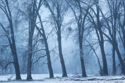 black oak, cold, cooks meadow, fog, foggy, frost, icy, landscape, mariposa county, nature, outdoors, outside, scenic, season, sierra nevada mountains, snow, spring, storm, tree branches, trees, united
