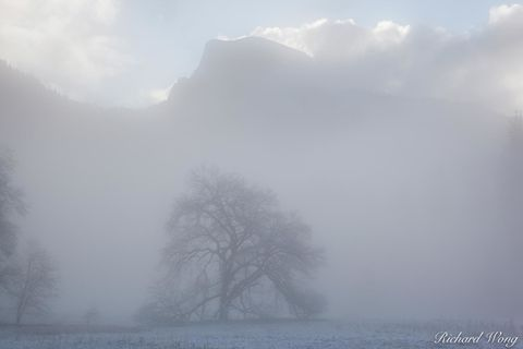 Elm Tree and Half Dome in Fog After Spring Snowstorm, Yosemite National Park, California, photo